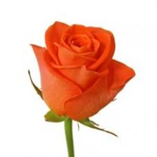 Роза морковная Вау