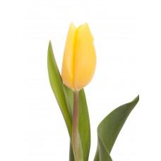 Тюльпан желтый