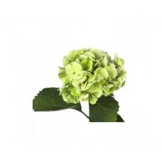 Гортензия светло-зеленая