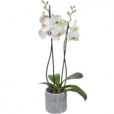 Орхидея (Фаленопсис) белая