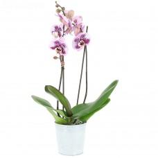 Орхидея (фаленопсис) тигровая