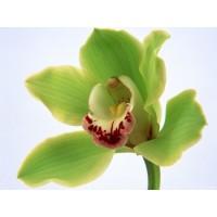 Орхидея один цветок зеленый