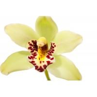 Орхидея один цветок желтый