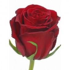Роза красная Эксплорер