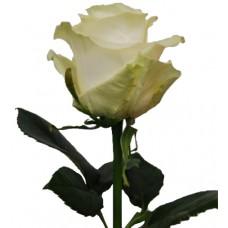 Роза белая Мондиал