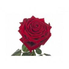 Роза красная Ред Наоми