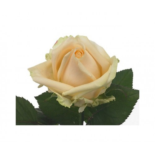 Роза персиковая