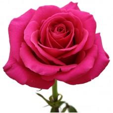 Роза розовая Пинк Флойд