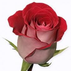 Роза вишневая Ривьера