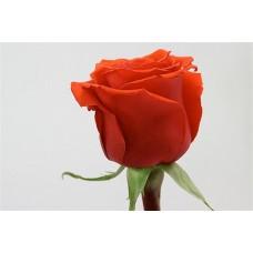 Роза морковная Нина