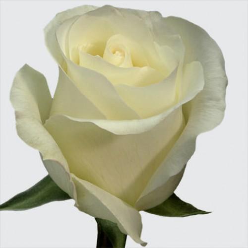 Роза белая Прауд