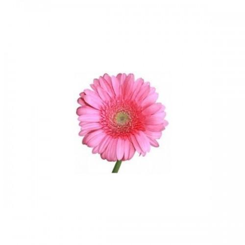 Гербера мини розовая