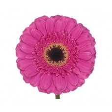 Гербера ярко-розовая