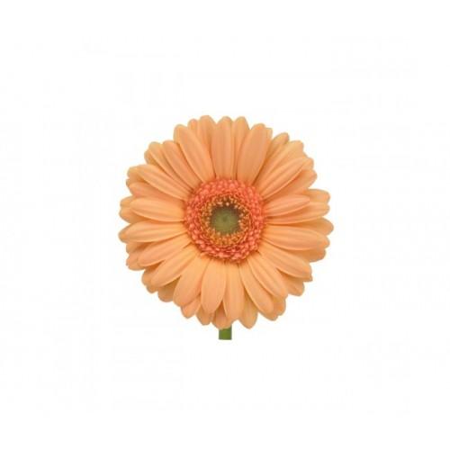 Гербера бежево-оранжевая