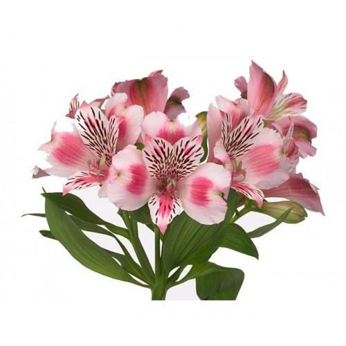 Альстромерия розовая