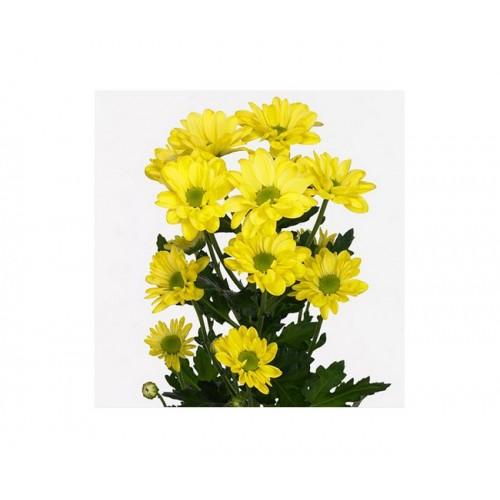 Хризантема желтая бакарди
