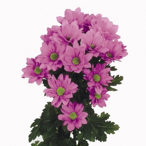 Хризантема розовая бакарди