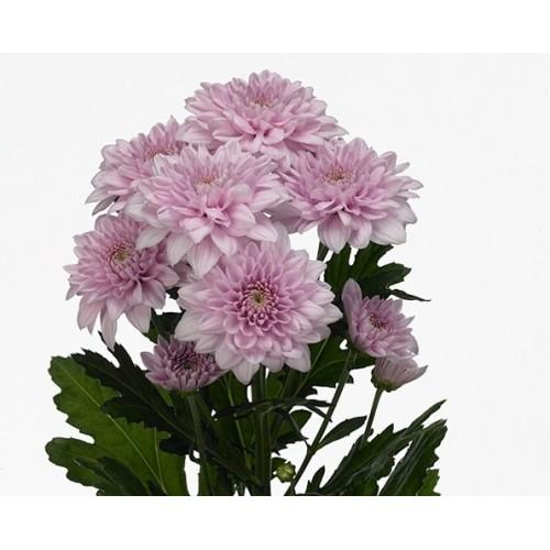 Хризантема розовая балтика