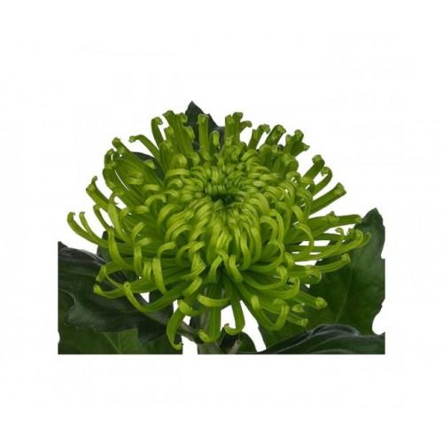 Хризантема зеленая глоб грин