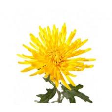 Хризантема желтая Анастасия