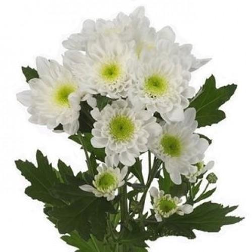 Хризантема белая радость