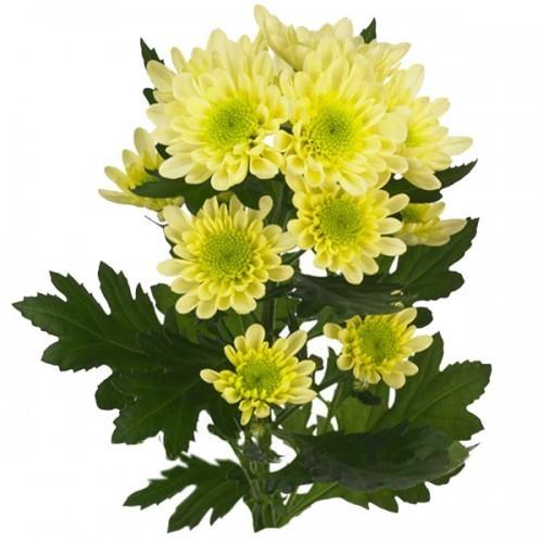 Хризантема желтая радость