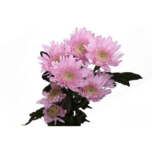 Хризантема розовая капкейк