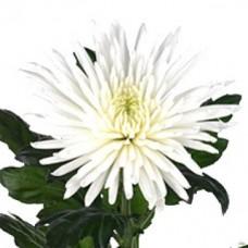 Хризантема белая Анастасия
