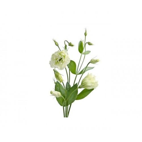 Эустома бело-зеленая