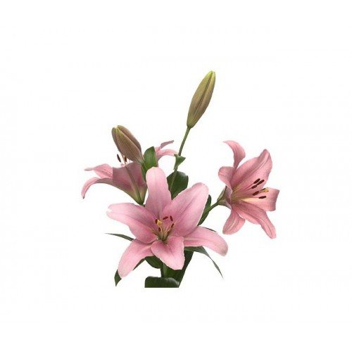 Лилия нежно-розовая