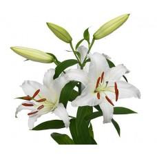 Лилия белая крупная