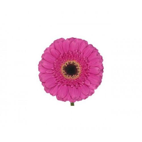 Гербера мини ярко-розовая