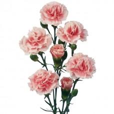 Гвоздика розовая кустовая
