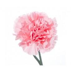 Гвоздика розовая