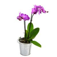 Орхидея (фаленопсис) малиновая