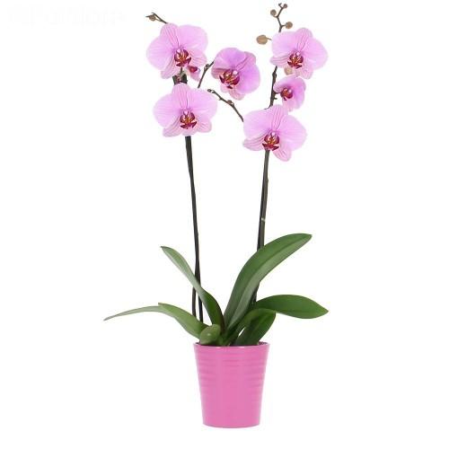 Орхидея (фаленопсис) розовая