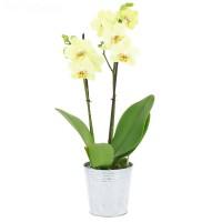 Орхидея (фаленопсис) лимонная